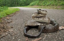 Large Adult Eastern Gray Black Rat Snake In Road With Defensive Posture