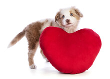 Australian Shepherd Puppy With A Red Heart For Valentine's Day