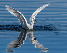 Snowy White Egret Splash Down Onto Pond Surface Reflection With Wings Spread While Grabbing A Fish In Its Beak.