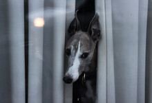 Close Up View Of Beautiful Dog Watching Outside Through The Curtain Behind The Window From Its House. Selective Focus.