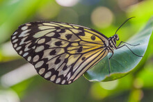 Idea Leuconoe (paper Kite Butterfly) On Siquijor Island, Philippines