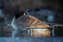 Canada Goose Sleeping On Pond