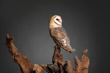 Beautiful Common Barn Owl On Tree Against Grey Background