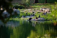 Flocks Of Domestic Ducks And Pigeons