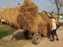 Ripe Paddy Or Rice Processing After Cutting