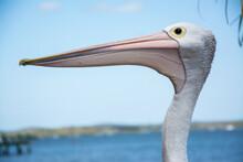 Tin Can Bay Pelican 1