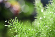 Asparagus Fern Are Growing Up