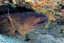 Yellow-edged Moray And Cleaner Shrimp