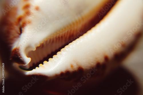Fotografiet Cypraea seashell closeup view