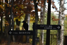 The Black Crow Standing On The Sign Post In Sapporo Japan