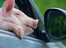 The Piglet Yawns Sadly From The Car Window