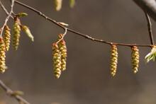 A Hornbeam Buds In Spring