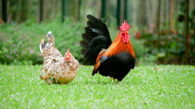 Bantam Chickens Are Small, Not Tall And Short Legs, Beautiful Colors. They Are Living In The Grass.