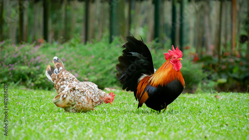 Canvastavla Bantam chickens are small, not tall and short legs, beautiful colors