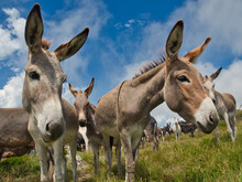 An Outdoor Lawn And A Group Of Donkeys Graze