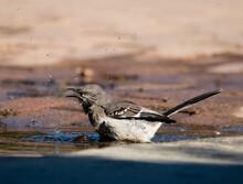 Mockingbird Takes A Bath In A Puddle On A Walkway.