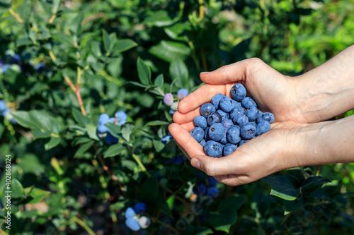 Fresh ripe blueberries in female palms Wallpaper Mural