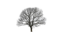 Dead Branches Tree Isolated On White Background