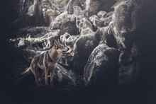 Wolf Dog In A Rocky Environment With Misterious Atmosphere, Wild, Untamed