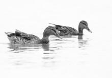 A Pair Of Mallard Ducks Swimming At Tubli Bay, Bahrain