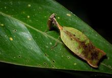 Leaf Mantis (Metilia Cf. Brunnerii) Mantis Passing Unnoticed On A Leaf In The Amazon Rainforest In Ecuador.