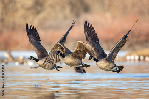 Canadian geese taking flight