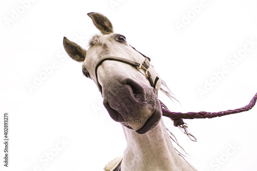 Fototapeta cute curious horse met at a village fair! obraz
