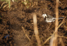 A White Wagtail Searches For Worms And Grubs In The Soil