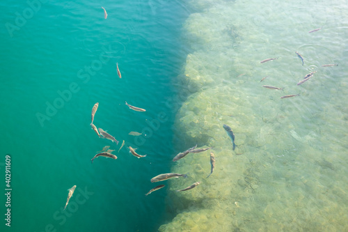 A flock of fish in green water in shallow water near the shore. Fototapeta