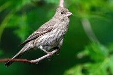 Close Up Of A Female House Finch Sitting On A Curved Branch With A Vibrant Green Background.