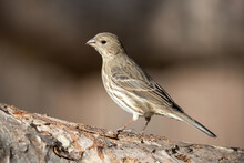 Portrait Of A Female House Finch Posing On A Branch With A Soft Brown Background.