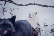 White Fox Licks Its Lips In Winter In The Reserve