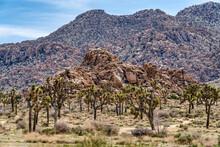 Joshua Tree California Landscape In Mojave Desert With Joshua Trees And Rocks