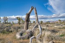 Dead Joshua Tree With Broken Trunk At The Grassland Of Joshua Tree National Park