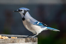 A Close Up Of A Side View Of A  Young Blue Jay Perched On A Wooden Table With Multiple Peanuts At Its Feet. The Bird Has Black, Blue And White Feathers, Dark Eyes And A Black Beak.