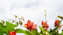 Red Bougainvillea Against Blue Sky Clouded Background