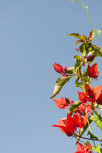 Red Bougainvillea Against Blue Sky Background