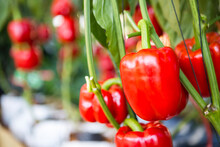 Red Bell Pepper Farming, Organic Vegetable Garden, Agriculture Concept