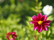 Purple, Dark Pink Color Flower, Sulfur Cosmos, Mexican Aster Flowers Are Blooming Beautifully Springtime In The Garden, Blurred Of Nature Background