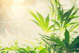 Mature Marijuana Plant with Bud and Leaves. Texture of Marijuana Plants at Indoor Cannabis Farm. Cannabis Plants Growing Indoor with Big Marijuana Buds