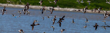 Pied And Variable Oystercatchers In Flight