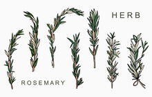 Line Herbal Collection With Rosemary.Vector Illustration For Icon,sticker,printable And Tattoo