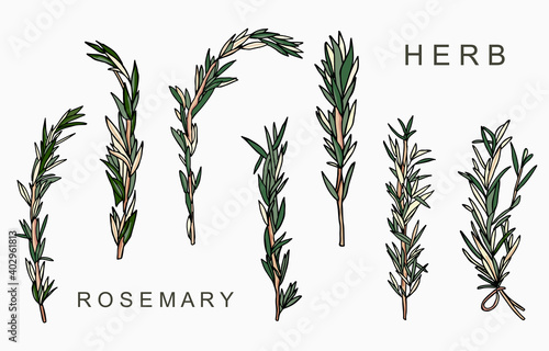 Fototapeta Line herbal collection with rosemary.Vector illustration for icon,sticker,printable and tattoo obraz