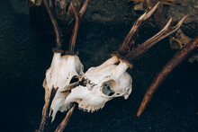 Roe Deer Skulls With Antlers On The Ground. Dark Magic Witch Accessories, Occult Sciences Concept, Ancient Mystical Ritualistic Practices And Shamanism, Selective Focus. Toned Image