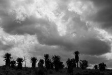A Group Of Aloe Plants With Dramatic Clouds Overhead In Black And White