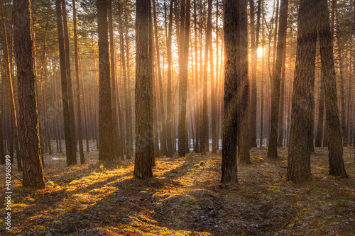 Fototapety, obrazy: Sunrise in the spring pine forest with last snow. Sunbeams shining through the haze between pine trunk