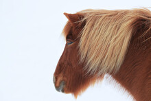 Portrait Of Red-brown Icelandic Horse In White Snowy Landscape