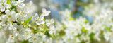 Blooming tree. White flowers on a cherry tree. Spring background