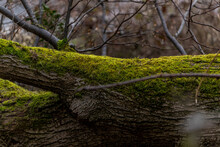 Fallen Tree Trunks Lying On The Ground Covered With Thick Green Moss Close-up View.