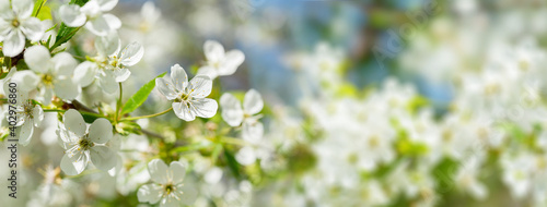 Fotografie, Obraz Blooming tree. White flowers on a cherry tree. Spring background